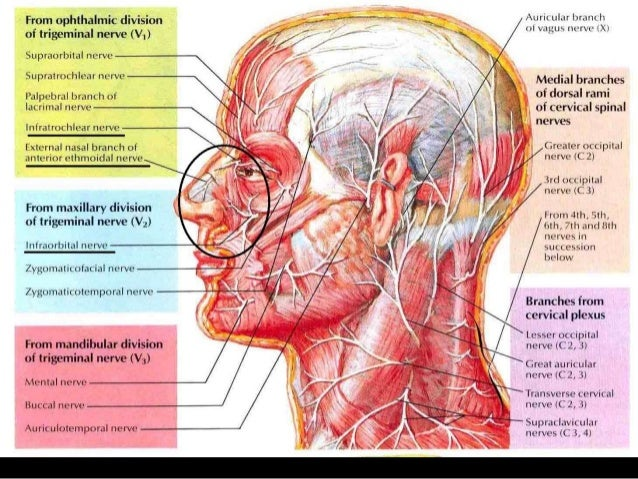 Sensory and motor innervation of upper airway