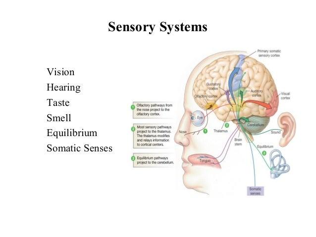 Somatic senses diagram electrical drawing wiring diagram sensory organs rh slideshare net somatic sensory input special senses ccuart Choice Image