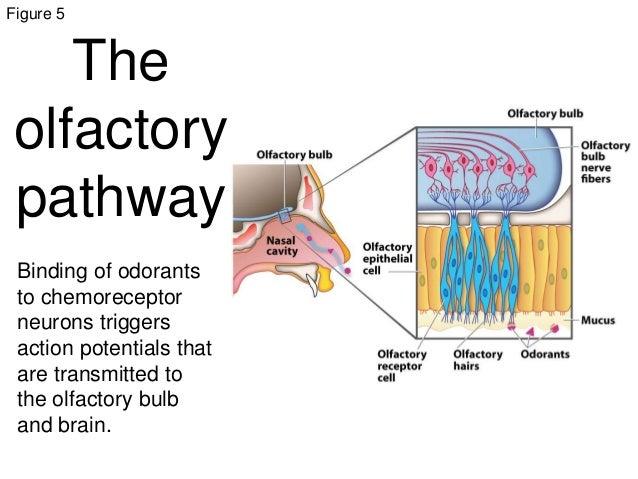 Sensory receptors animal systems