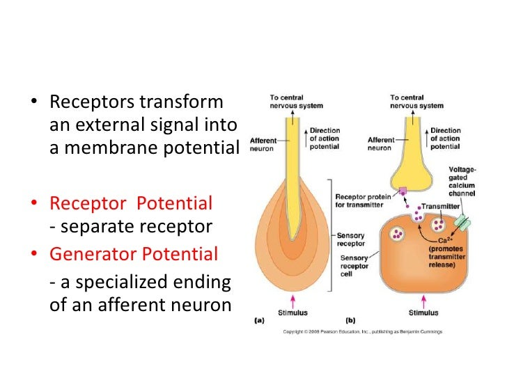 nervous system membrane action potential