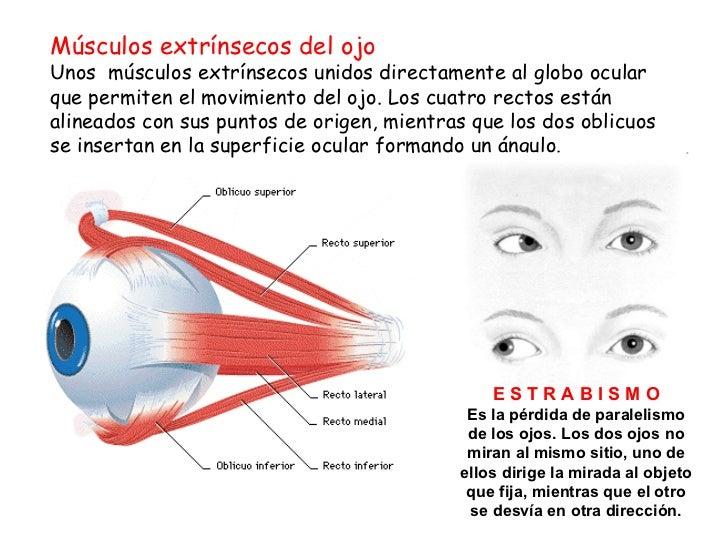 Único Músculos Oculares Extrínsecos Molde - Anatomía de Las ...