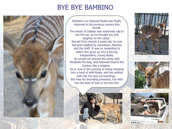 BYE BYE BAMBINO Bambino our beloved Nyala was finally returned to his previous owners this month. The whole of Daktari was...