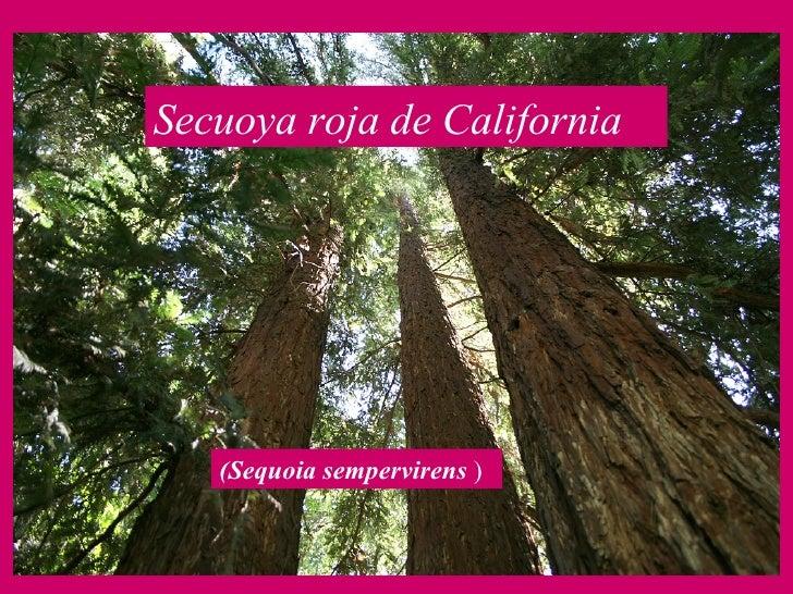 Secuoya roja de California   (Sequoia sempervirens  )