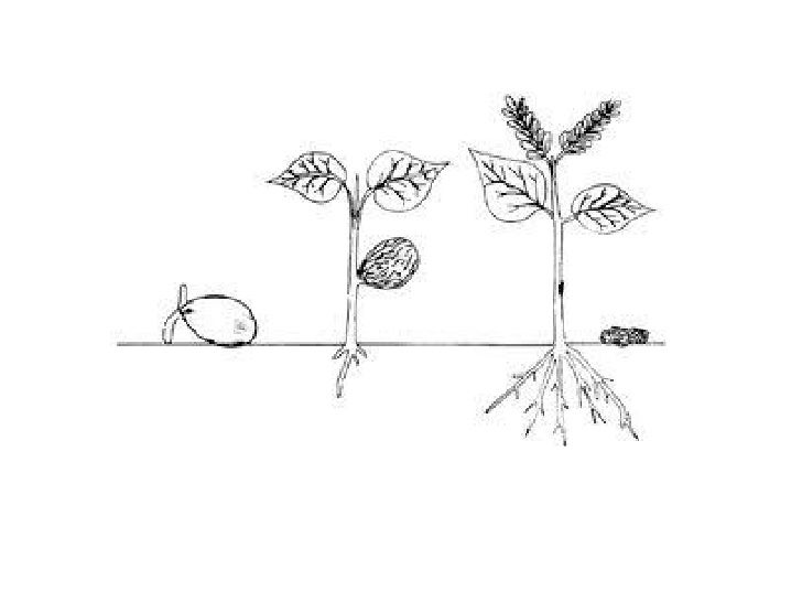 Seriacion de las semillas