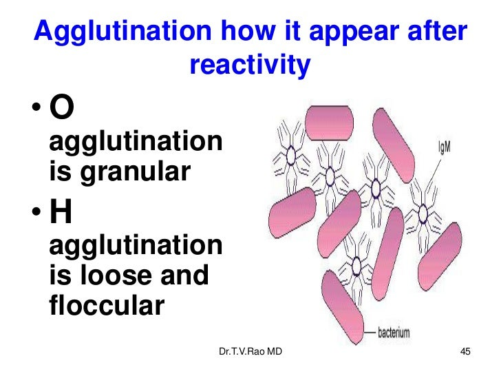 Agglutination how it appear after            reactivity•O agglutination is granular•H agglutination is loose and floccular...