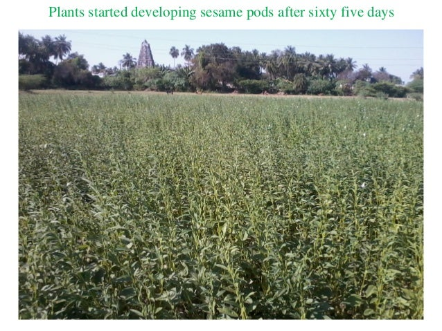 Plants started developing sesame pods after sixty five days