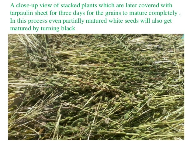 A close-up view of stacked plants which are later covered with tarpaulin sheet for three days for the grains to mature com...