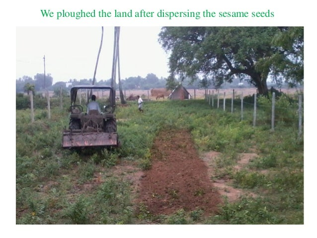 We ploughed the land after dispersing the sesame seeds