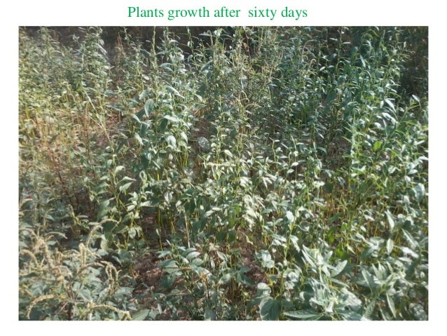 Plants growth after sixty days