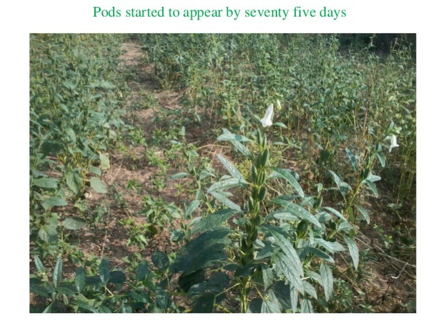 Pods started to appear by seventy five days