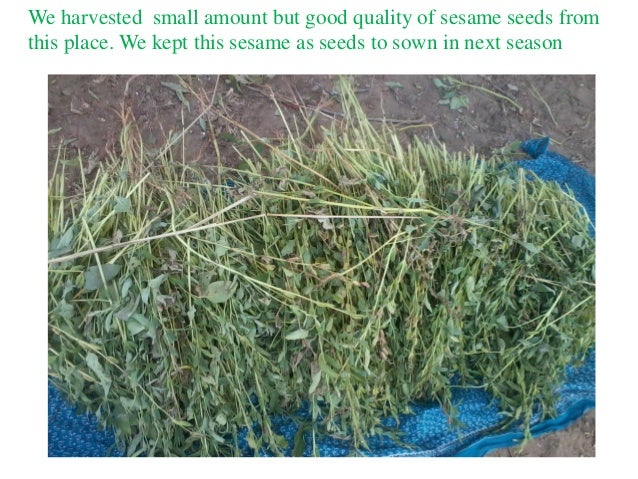 We harvested small amount but good quality of sesame seeds from this place. We kept this sesame as seeds to sown in next s...