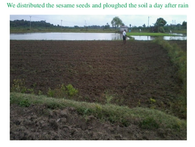 We distributed the sesame seeds and ploughed the soil a day after rain