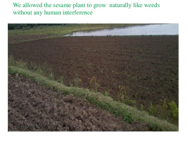 We allowed the sesame plant to grow naturally like weeds without any human interference