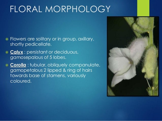 FLORAL MORPHOLOGY…  Androecium : stamens are epipetalous & didynamous, filaments 4,slender, anther sacs are dorsifixed & ...
