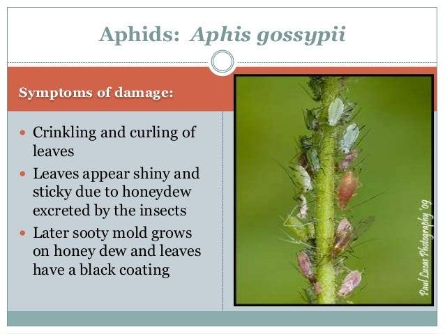 Identification of the pest:  Adult: Yellowish to dark Aphids: Aphis gossypii