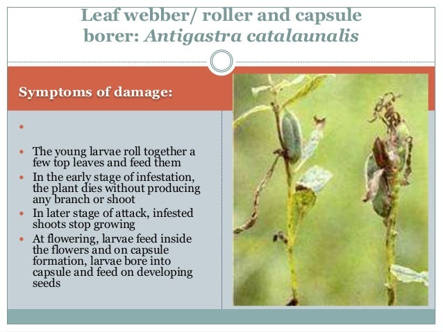 Identification of the pest:  Larvae: Greenish in colour with black head having short white hairs  Adult: Medium sized mo...