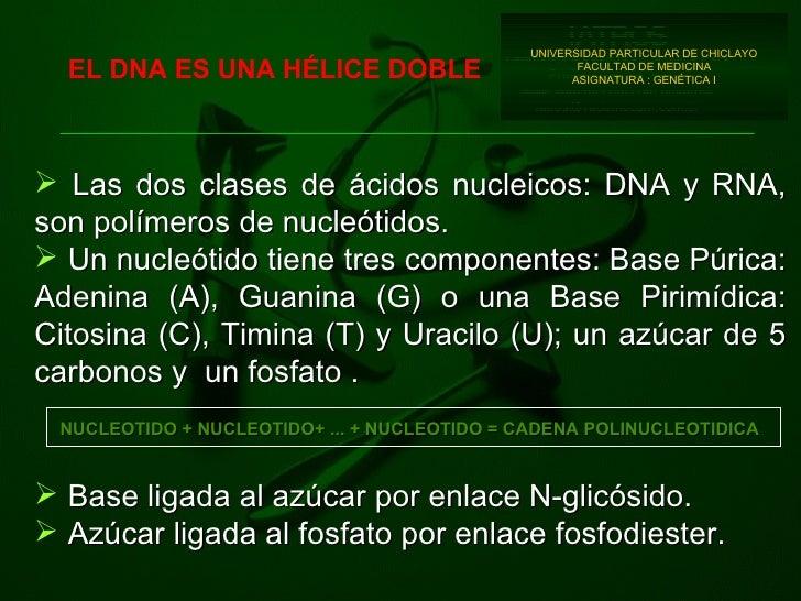 EL DNA ES UNA HÉLICE DOBLE <ul><li>Las dos clases de ácidos nucleicos: DNA y RNA,   son polímeros de nucleótidos. </li></u...