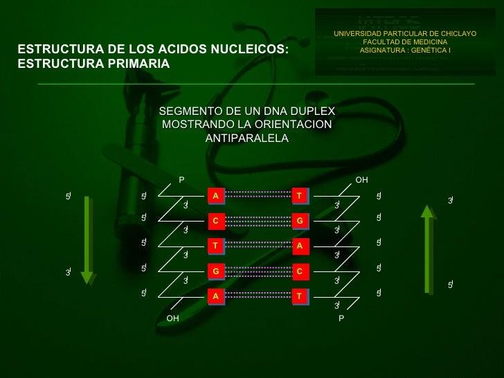 ESTRUCTURA DE LOS ACIDOS NUCLEICOS: ESTRUCTURA PRIMARIA UNIVERSIDAD PARTICULAR DE CHICLAYO FACULTAD DE MEDICINA ASIGNATURA...