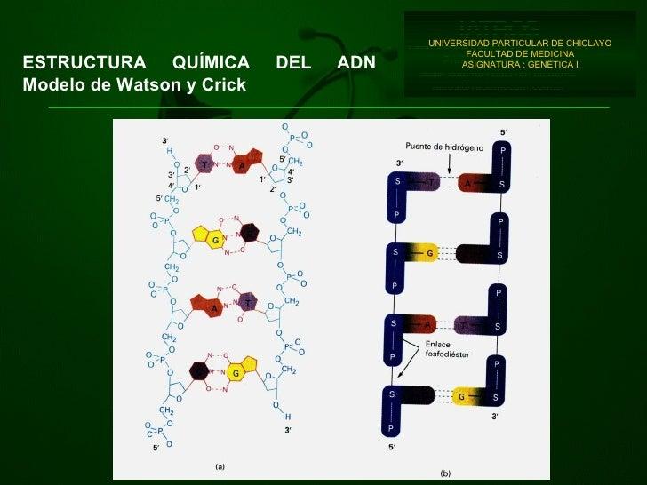 UNIVERSIDAD PARTICULAR DE CHICLAYO FACULTAD DE MEDICINA ASIGNATURA : GENÉTICA I ESTRUCTURA  QUÍMICA  DE L ADN Modelo de Wa...
