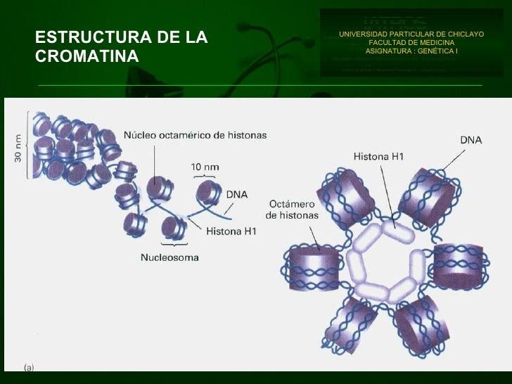 ESTRUCTURA DE LA CROMATINA UNIVERSIDAD PARTICULAR DE CHICLAYO FACULTAD DE MEDICINA ASIGNATURA : GENÉTICA I