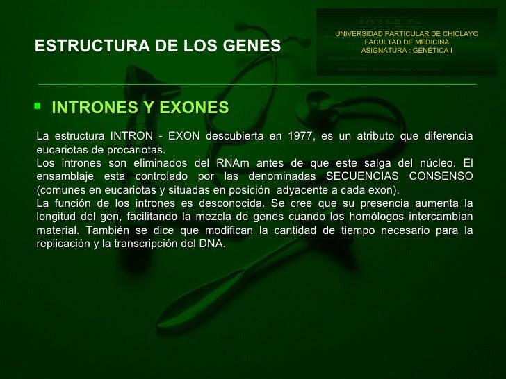 ESTRUCTURA DE LOS GENES <ul><li>INTRONES Y EXONES </li></ul>La estructura INTRON - EXON descub i erta en 1977, es un atrib...