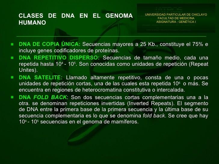 CLASES DE DNA EN EL GENOMA HUMANO <ul><li>DNA DE COPIA ÚNICA:  Secuencias mayores a 25 Kb., constituye el 75% e incluye ge...
