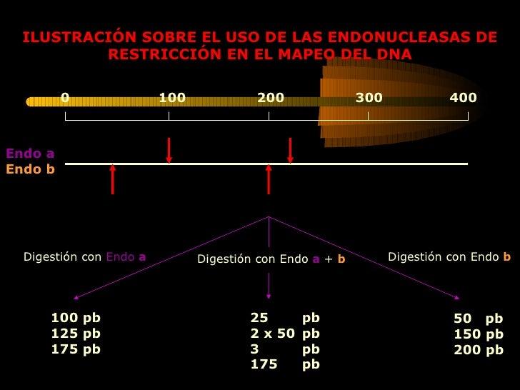ILUSTRACIÓN SOBRE EL USO DE LAS ENDONUCLEASAS DE RESTRICCIÓN EN EL MAPEO DEL DNA 0  100  200  300  400  Endo a Endo b Dige...