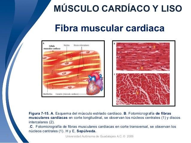 Sesión 19. músculo cardiaco y liso