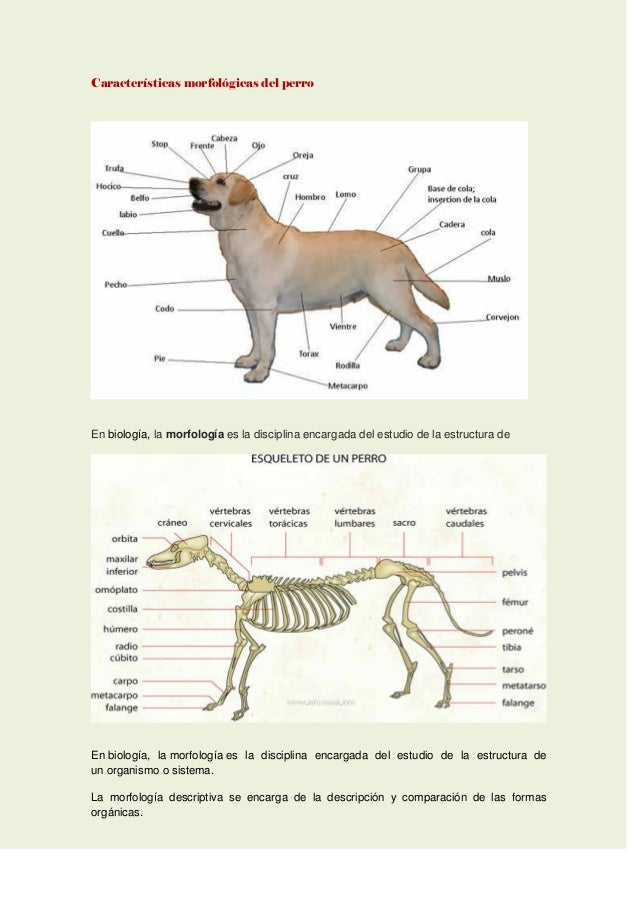Contemporáneo Gráfico De La Anatomía Canino Ornamento - Imágenes de ...