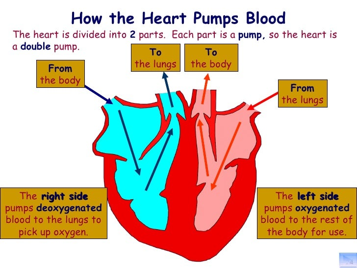Heart pumping blood diagram electrical work wiring diagram session 1 2 heart rh slideshare net how blood travels through the heart how does blood flow through the heart ccuart Gallery