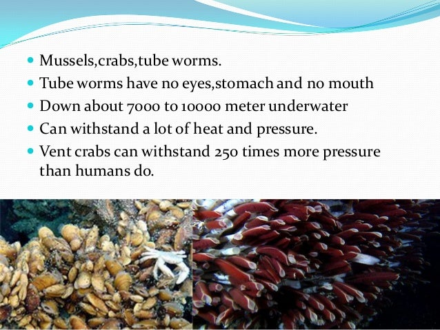 Mussels,crabs,tube worms.  Tube worms have no eyes,stomach and no mouth  Down about 7000 to 10000 meter underwater  C...