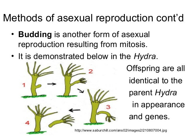 Budding method asexual reproduction advantages