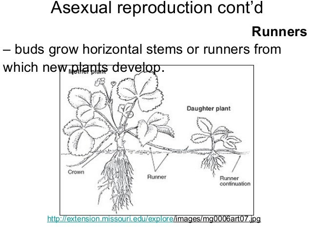 Asexual reproduction definition simple-minded