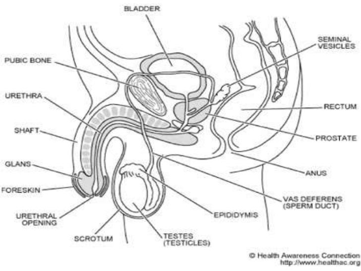 The Male Reproductive System An Unlabeled Diagram Of The Internal