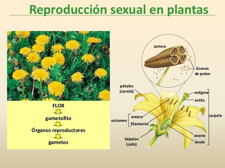 Reproducción sexual en plantas                                              antera                                        ...