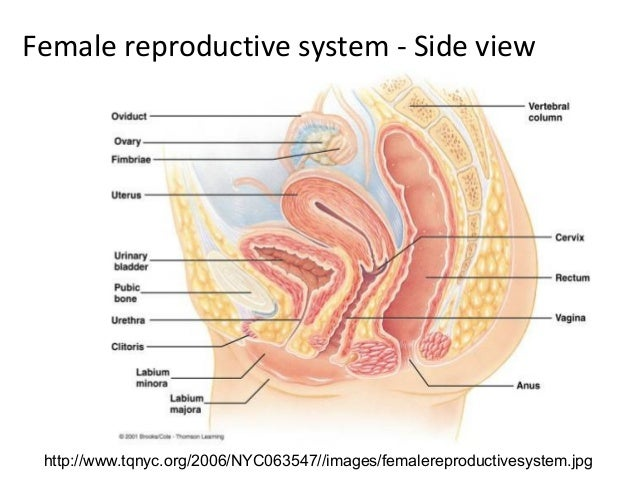 Human sexual reproductive organs
