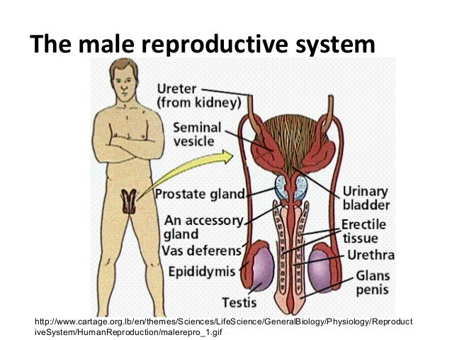 Sexual reproduction in man