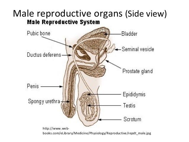 Male Reproductive System Diagram Se 6 Answers Auto Electrical