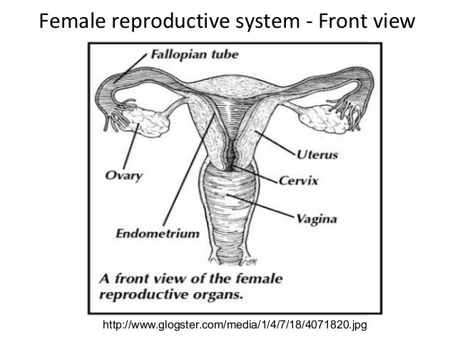 Sexual reproduction in mammals female reproductive system front view ccuart Images
