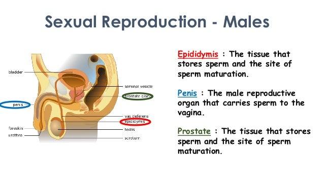 Site of sperm maturation