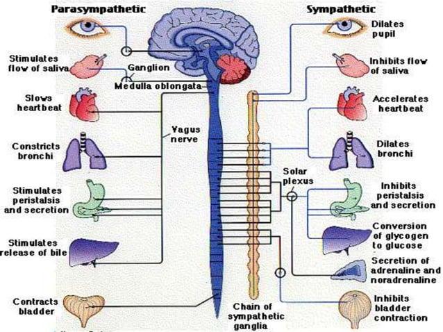 End of postganglionic sympathetic synapse- adrenergic receptors