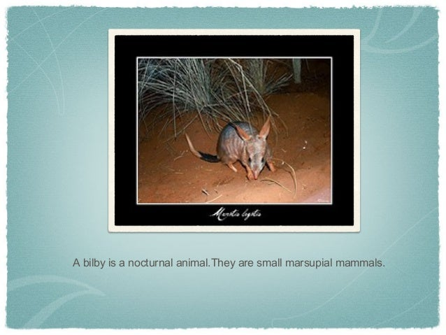 A bilby is a nocturnal animal.They are small marsupial mammals.