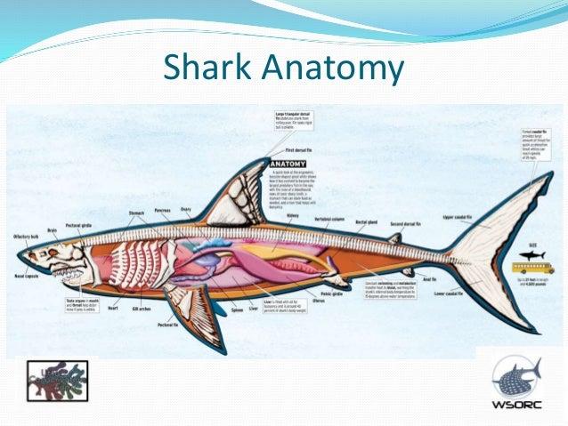 Shark Skeleton Labeled Shark Skeleton Anatomy Images Diagram
