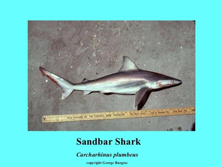 Sandbar Shark Carcharhinus plumbeus copyright George Burgess