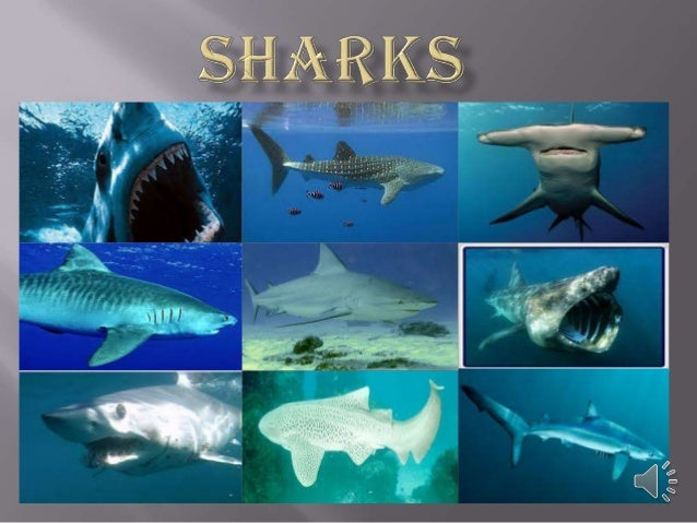  Sharks have excellent night vision.  The cookie –cutter shark was given its name because of how its feeds.  A shark br...