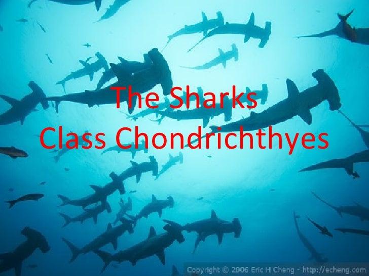 The SharksClass Chondrichthyes