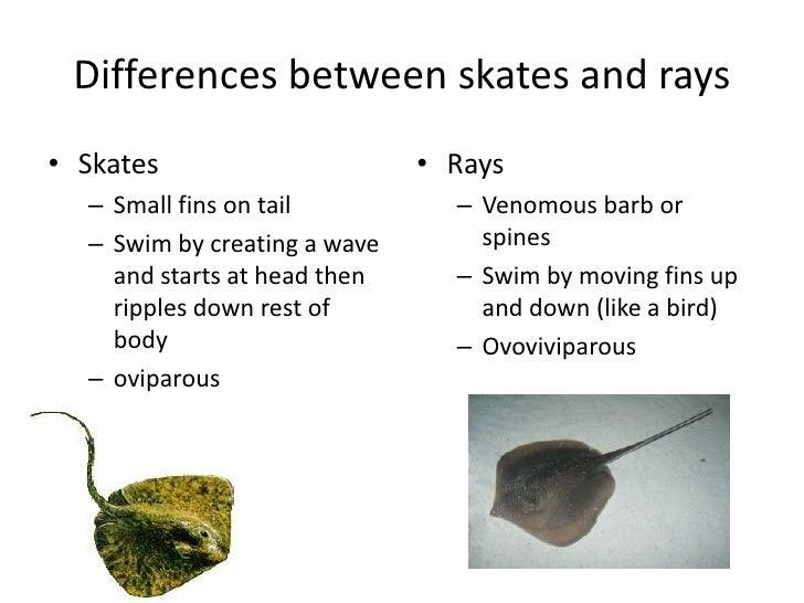 sharks skates and rays