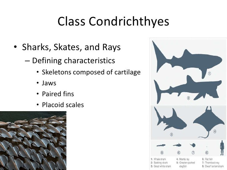 What group do sharks, rays and skates belong to?