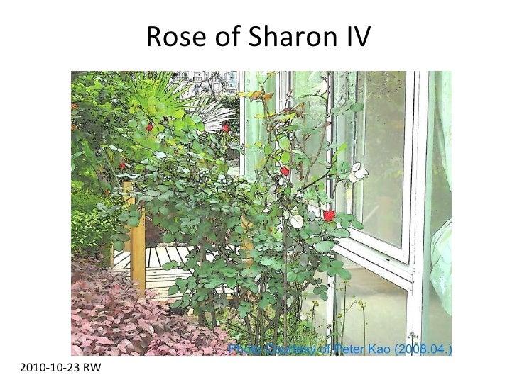 Rose of Sharon IV 2010-10-23 RW