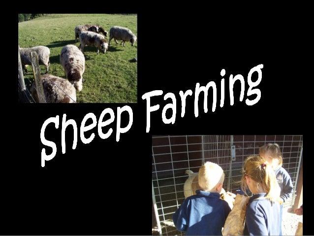 A Mummy sheep is called a ewe.